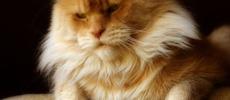 Maine Coon – hodowla kotów rasowych Nightwalker.pl